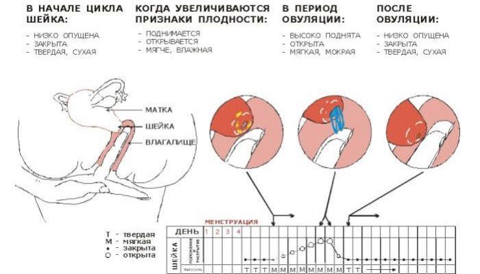3 3см длина шейки матки 21 неделя беременности для